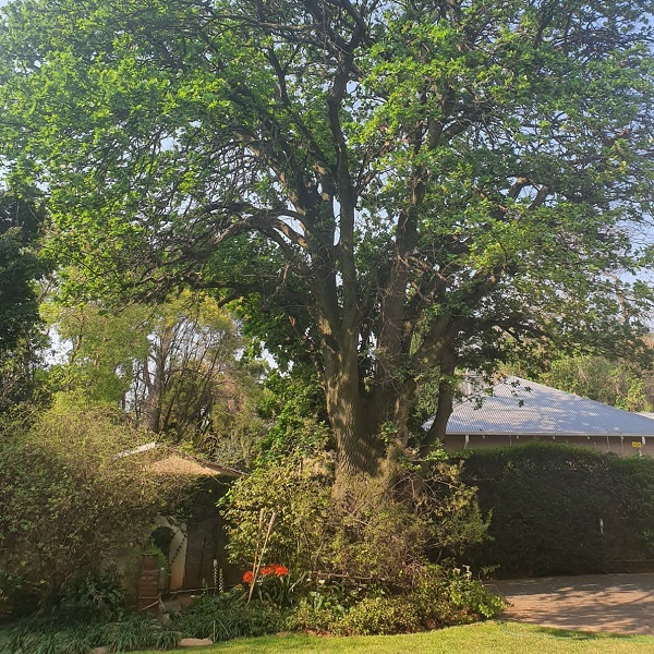 The Old Oak Tree Featured Image